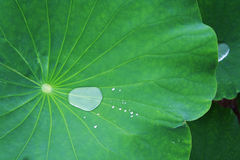 Drops of water on the lotus Royalty Free Stock Photo