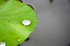 Drops of water on a lotus leaf Royalty Free Stock Image