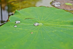 Drops of water on lotus leaf Stock Photo