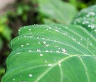 Drops of Water on Lotus Leaf Royalty Free Stock Photo
