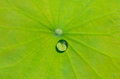 Drops of water on a lotus leaf Stock Photos