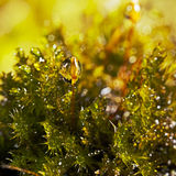 Drops of water on the moss. Extreme close-up with shallow of water drops on moss Stock Images