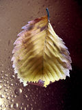 Drops of water on plant leaves after rain. Dripped water on sheet from tree after rain autumn stock photo