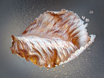 Drops of water on plant leaves after rain. Dripped water on sheet from tree after rain autumn stock images