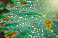 Drops of water rain on lotus leaf in the pond. Stock Photo