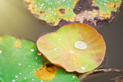 Drops of water rain on lotus leaf in the pond. Stock Photography