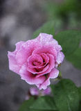 Drops of water on rose stock photos