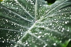 Drops of water on the sheet. Plantain .Green tropical leaves. Pattern. Close-up. Background. stock images