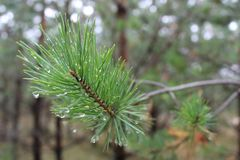 Drops of water on a spruce branch royalty free stock photo