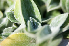 Drops of water on Stachys plant closeup Royalty Free Stock Images