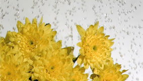 Drops of water in super slow motion falling on a chrysanthemum stock video footage