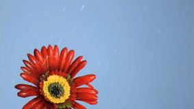 Drops of water in super slow motion falling on a red flower Royalty Free Stock Images
