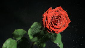 Drops of water in super slow motion falling from a rose stock video footage