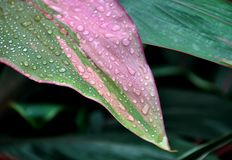 Drops of water on the tropical leaf stock image