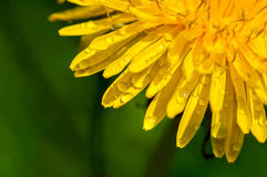 Drops of water on the yellow dandelions Stock Image