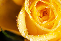 Drops of water on a yellow rose Stock Image