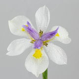 Drops on Wild Iris flower. Water drops on Wild Iris flower - isolated, neutral background royalty free stock photos