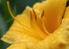 Drops on yellow flower macro. A close photo of rain drops on the yellow flower Royalty Free Stock Photography