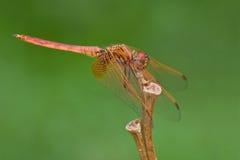 dropwing未成熟的trithemis的极光绯红色 免版税库存图片