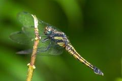 dropwing绯红色的蜻蜓 免版税图库摄影