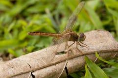 dropwing ciemnopąsowy dragonfly Obrazy Stock