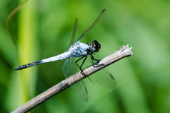 Dropwing dragonfly on dry stick Stock Photos