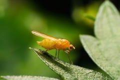 Drosófila da mosca de fruta na folha Fotos de Stock Royalty Free