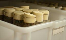 A drosófila voa em uns tubos de ensaio Fotografia de Stock