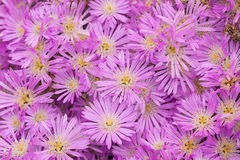 Drosanthemum floribundum. This hardy perennial produces dazzling metallic purple flowers in spring each year. It is a low-growing, ground-hugging plant with Stock Photo