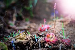 Drosera Burmannii prenant un petit parc national de Pha Thoep de @Phu de mouche photo stock