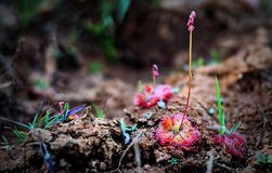Drosera burmannii, the tropical sundew @Phu Pha Thoep National Park royalty free stock photo