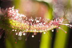 Drosera capensis, Cape sundew, Stock Photo