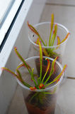 Drosera capensis Stock Images