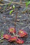 Drosera común con la flor Fotos de archivo libres de regalías