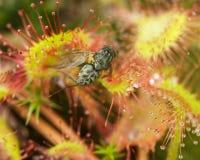 Drosera de la presa que come la mosca cogida Imagenes de archivo
