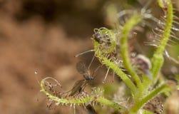Drosera Indica com o inseto prendido visto no platô de Kaas, Satara, Maharashtra, Índia fotos de stock royalty free