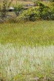 Pha Taem National Park. Drosera indica Linn.flower beautiful mix with Utricularia bifida in the Pha Taem National Park stock photos