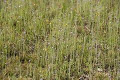 Pha Taem National Park. Drosera indica Linn.flower beautiful mix with Utricularia bifida in the Pha Taem National Park royalty free stock photos