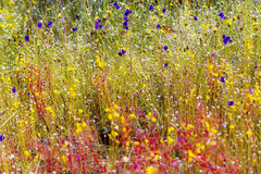 Drosera indica and Utricularia bifida. Flower blooming in the Mukdahan Nation Park, Thailand stock images