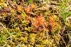 Drosera leaved o comune rotonda, rotundifolia del Drosera Fotografia Stock