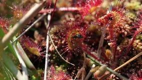 drosera Redondo-con hojas - mosca metrajes
