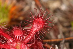 Drosera roraimae Stock Photography