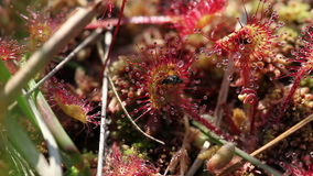 drosera Rotondo-leaved - mosca stock footage