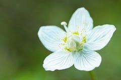 Drosera Rotundifolia Royalty Free Stock Photo
