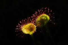 Drosera rotundifolia Stock Photos