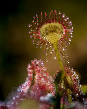 Drosera rotundifolia Stock Photography