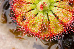 Drosera tokaiensis Carnivorous Plant Royalty Free Stock Photography
