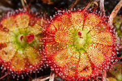 Drosera tokaiensis Carnivorous Plant. That Eating Insect Stock Photos