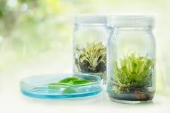 Drosera y x28; Plant& carnívoro x29; , Cultura de tejido vegetal en el laboratorio foto de archivo