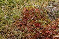 Drosera y su biotopo Imagenes de archivo